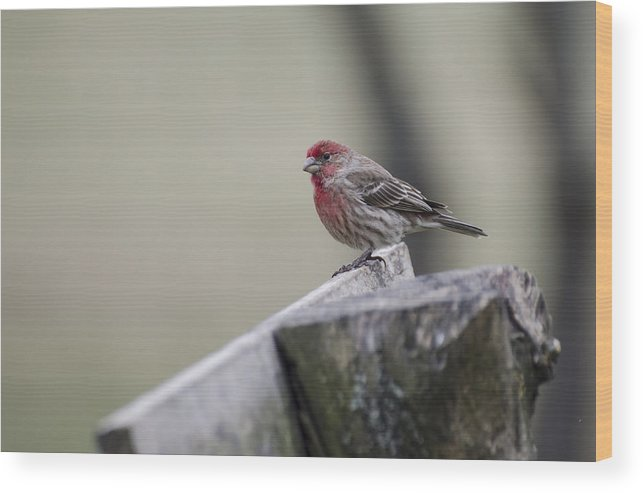 House Finch Wood Print featuring the photograph House Finch by Heather Applegate