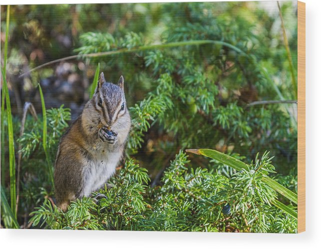 Photograph Wood Print featuring the photograph Hungry Chipmunk by Maik Tondeur