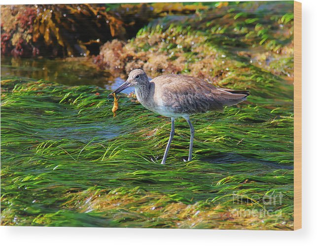Willet Wood Print featuring the photograph Hungry Willet by Kasia Bitner