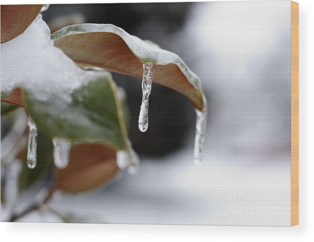 Ice Wood Print featuring the photograph Iced Magnolia by Terri Winkler