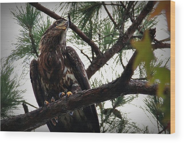Bald Eagle Wood Print featuring the digital art Immature American Bald Eagle by Linda Unger