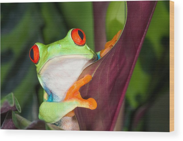 Red-eyed Tree Frog Wood Print featuring the photograph In Awe by Cheryl Schneider