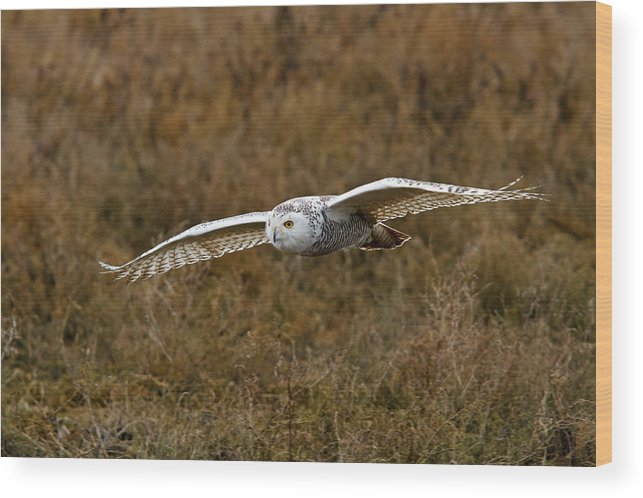 Snowy Owl Wood Print featuring the photograph In Flight by Shari Sommerfeld