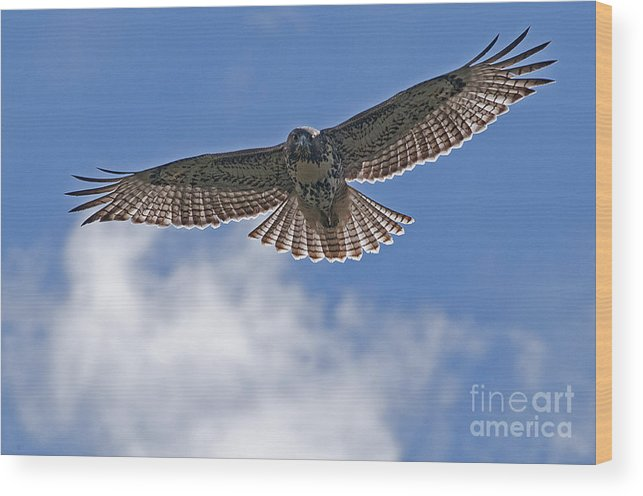 Redtail Wood Print featuring the photograph Incomming Redtail. by Earl Nelson