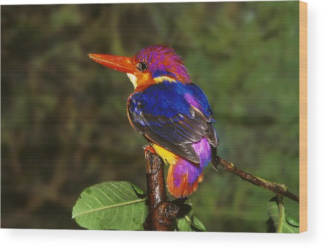Multi Colored; Vibrant Color; Branch; Perching; No People; Horizontal; Outdoors; Day; Full Length; One Animal; Wildlife; Three-toed Kingfisher; India Wood Print featuring the photograph India Three Toed Kingfisher by Anonymous