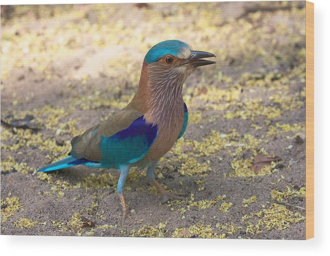 India Wood Print featuring the photograph Indian Roller by David Beebe