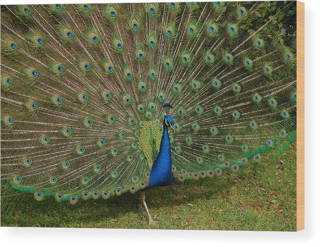 Peacock Wood Print featuring the photograph Its All About Him by Suzanne Gaff
