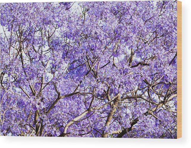 Jacaranda Tree Purple Blossoms In Spring Time Wood Print By Imamember