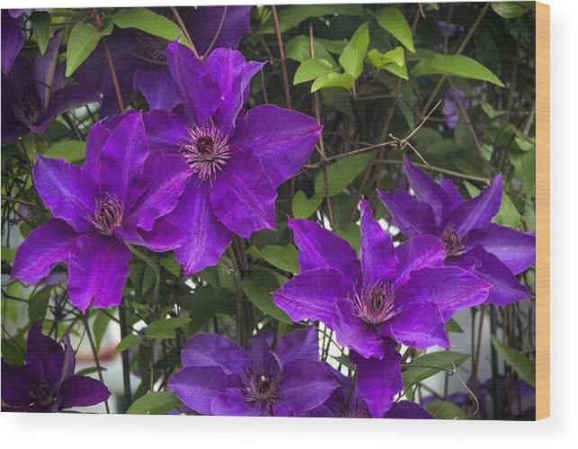 Jackmanii Wood Print featuring the photograph Jackmanii Purple Clematis Vine by Kathy Clark