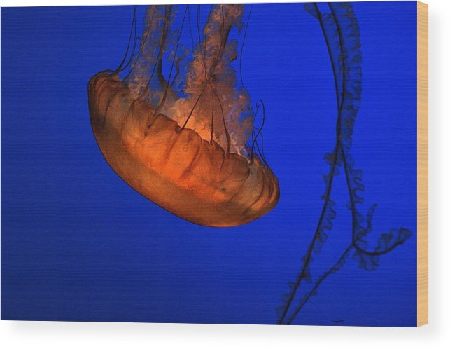 Wood Print featuring the photograph Jellyfish 2 by Tom Winfield