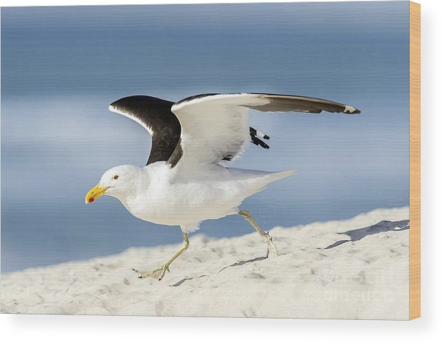 Animal Wood Print featuring the photograph Kelp Gull Taking Off by Peter Chadwick