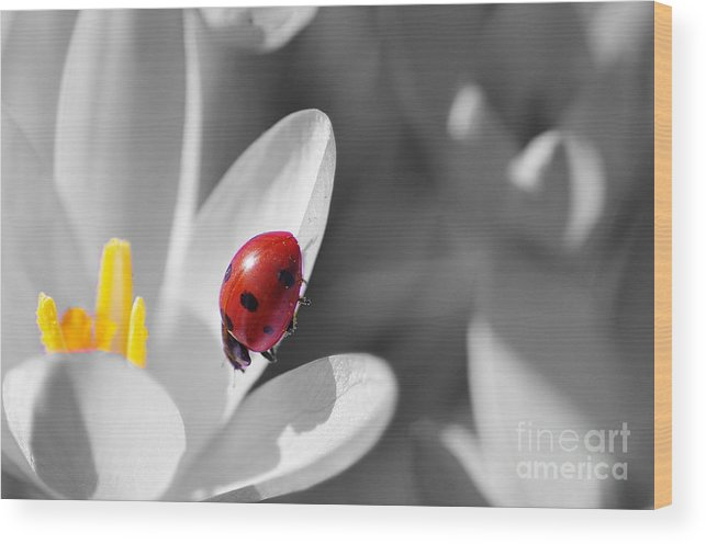 Animal Wood Print featuring the photograph Ladybug Black And White In Colorkey by Tanja Riedel