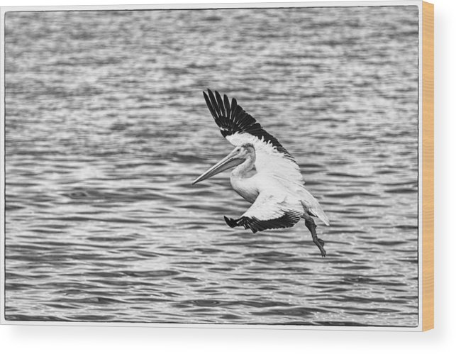 White Pelican Wood Print featuring the photograph Landing Pelican In Black And White by Thomas Young