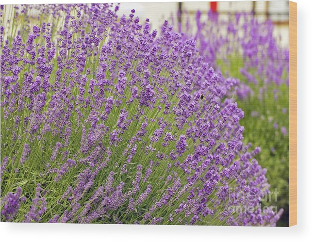 Lavender Wood Print featuring the photograph Lavender (lavandula Angustifolia) by Dr Keith Wheeler