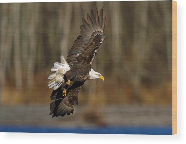 Bald Eagle Wood Print featuring the photograph Left Turn by Shari Sommerfeld