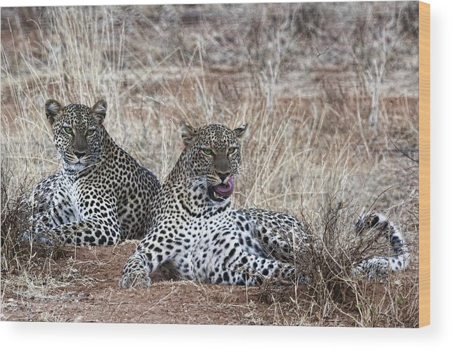 Two Spotted Leopards Leopard Wild Kenya Africa Pair Wood Print featuring the photograph Leopard Mates by Wendy White