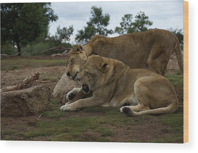 Australian Wood Print featuring the photograph Lion - Get Off Me by Graham Palmer