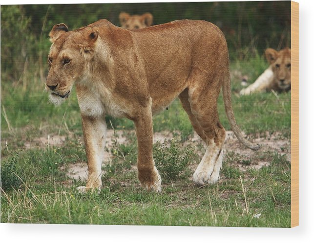 East Africa Wood Print featuring the photograph Lioness On The Masai Mara by Aidan Moran