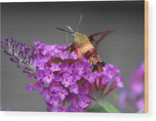 Lobster Bug Flying On Purple Flowers Flying Seafood Nature Wood Print featuring the photograph Lobster Bug by Coralynn Gutierrez