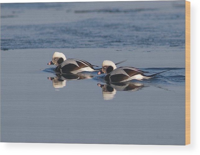 Longtail Ducks Wood Print featuring the photograph Longtail Brothers by Ward McGinnis