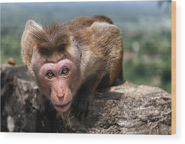 Monkey Wood Print featuring the photograph Look At Me by Thierry CHRIN