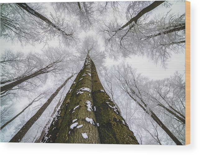 Beech Wood Print featuring the photograph Looking Up by Tom Pavlasek