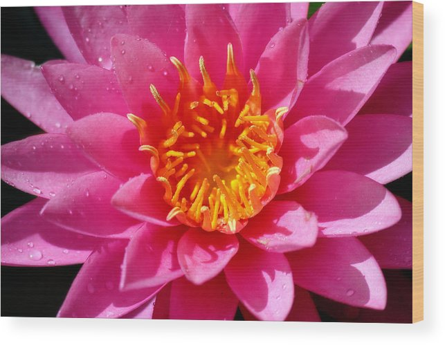 Corey Haynes Wood Print featuring the photograph Lotus by CE Haynes