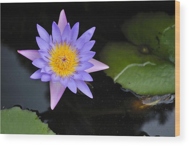 Lotus Flower Water Lily Vietnam Southeast Asia Wood Print By