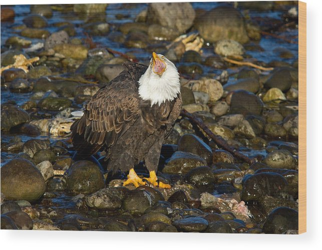 Bald Eagle Wood Print featuring the photograph Loud And Proud by Shari Sommerfeld