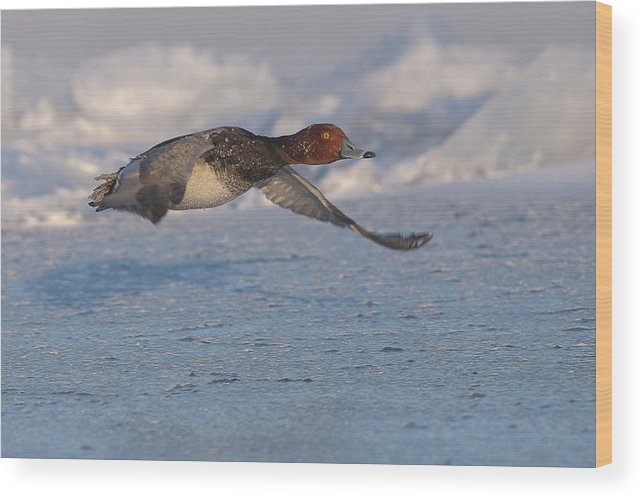 Redhead Duck Wood Print featuring the photograph Low Flying Redhead by Ward McGinnis