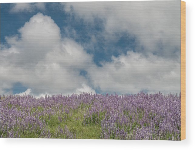 Lupine Wood Print featuring the photograph Lupine Field Under Clouds by Greg Nyquist