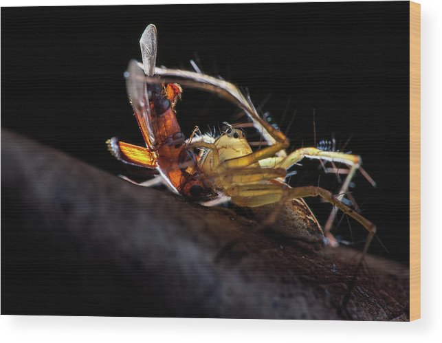 Lynx Spider Wood Print featuring the photograph Lynx Spider With Prey by Melvyn Yeo