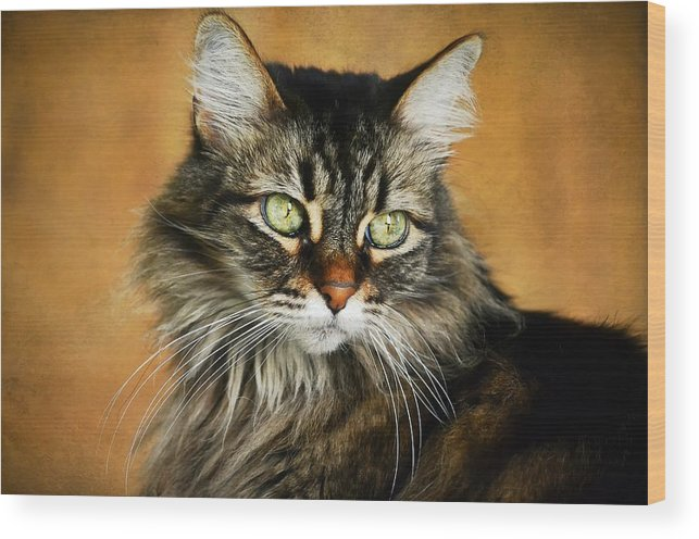 Maine Coon Wood Print featuring the photograph Maine Coon In Topaz by Fraida Gutovich