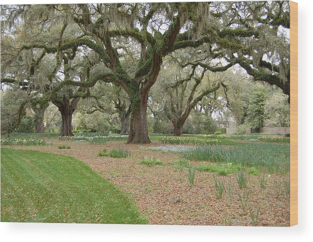 Live Oak Wood Print featuring the photograph Majestic Live Oaks In Spring by Suzanne Gaff