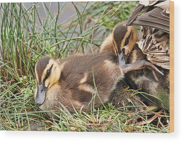 Ducklings Wood Print featuring the photograph Mallard Ducklings And Mom by Peggy Collins