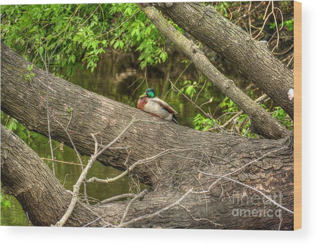 Duck Wood Print featuring the photograph Mallard Resting by M Dale