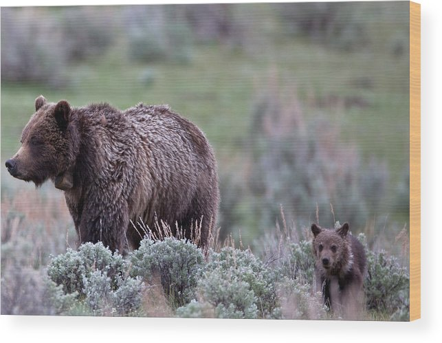 Grizzly Wood Print featuring the photograph Mama Grizzly Guiding Cub by Natural Focal Point Photography