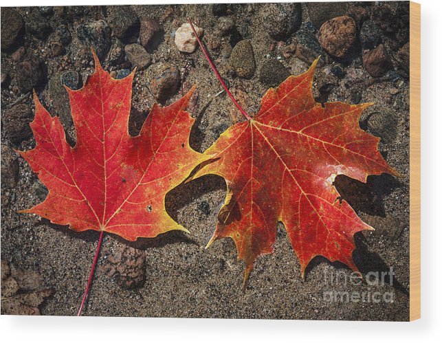 Fall Wood Print featuring the photograph Maple Leaves In Water by Elena Elisseeva