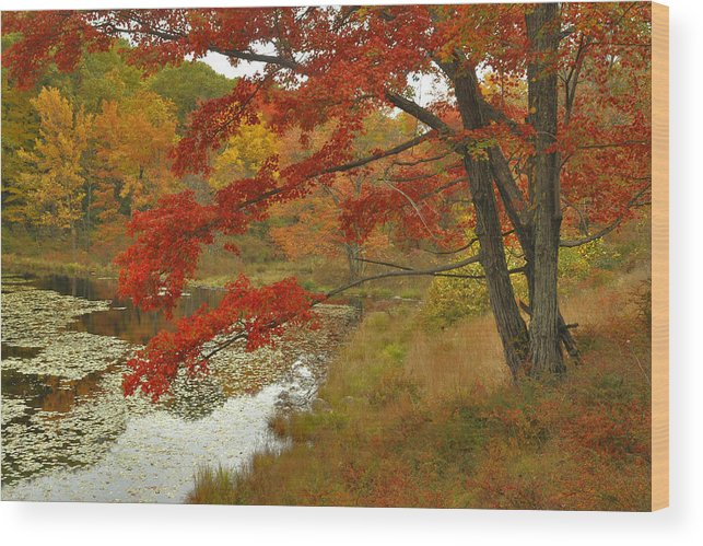 Fall Wood Print featuring the photograph Maple Tree In Autumn by Stephen Vecchiotti