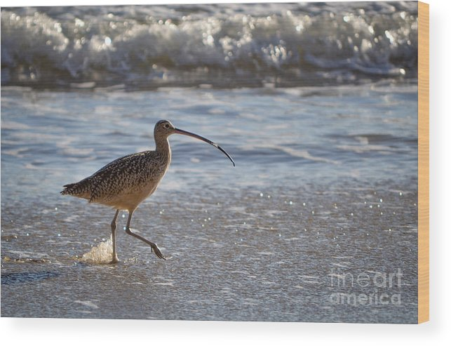 Marbled Godwit Wood Print featuring the photograph Marbled Godwit 2 by Charlene Gauld