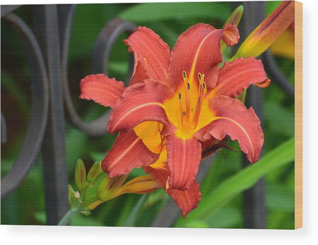 White Lilies Wood Print featuring the photograph Maroon Day Lilies by Chris Tennis