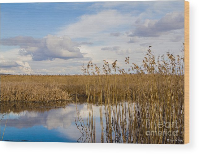 Phragmites Australis Wood Print featuring the photograph Marsh Reed by Jivko Nakev