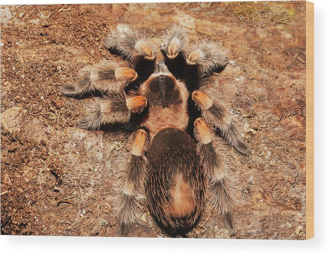 Brachypelma Smithi Wood Print Featuring The Photograph Mexican Redknee Tarantula On Rocks By Piperanne Worcester