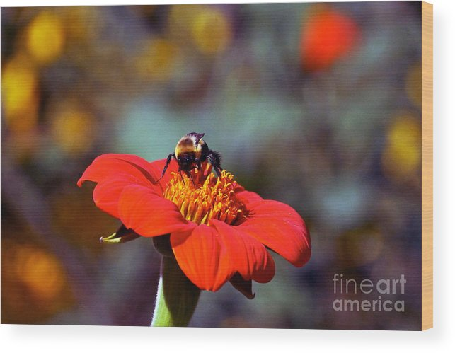 Tithonia Rotundifolia Wood Print featuring the photograph Mexican Sunflower Open House Party Time by Byron Varvarigos