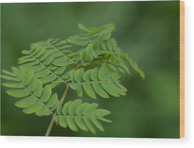 Mimosa Green Wood Print featuring the photograph Mimosa Greens by Maria Urso