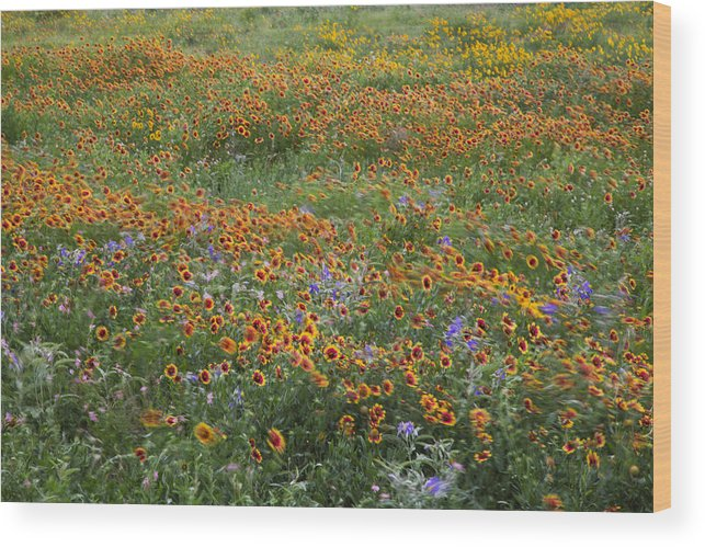 Firewheel Wood Print featuring the photograph Mixed Wildflowers Blowing by Steven Schwartzman