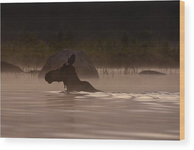 Moose Wood Print featuring the photograph Moose Swim by Brent L Ander