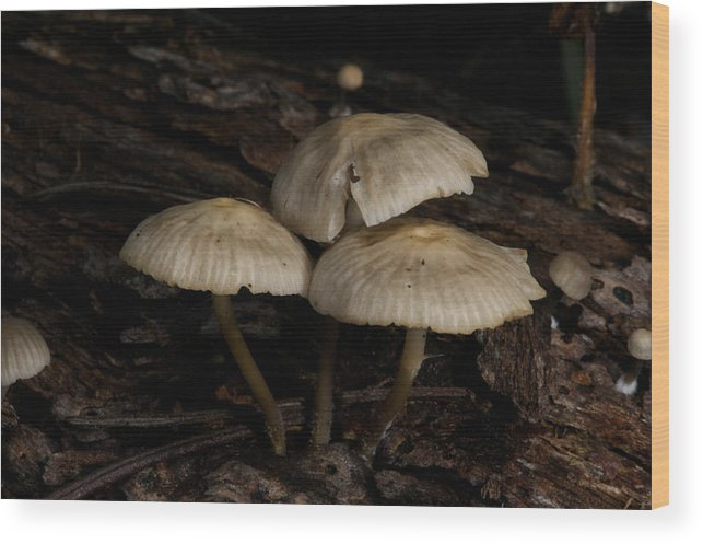 Australian Wood Print featuring the photograph More Omphalinas by Graham Palmer