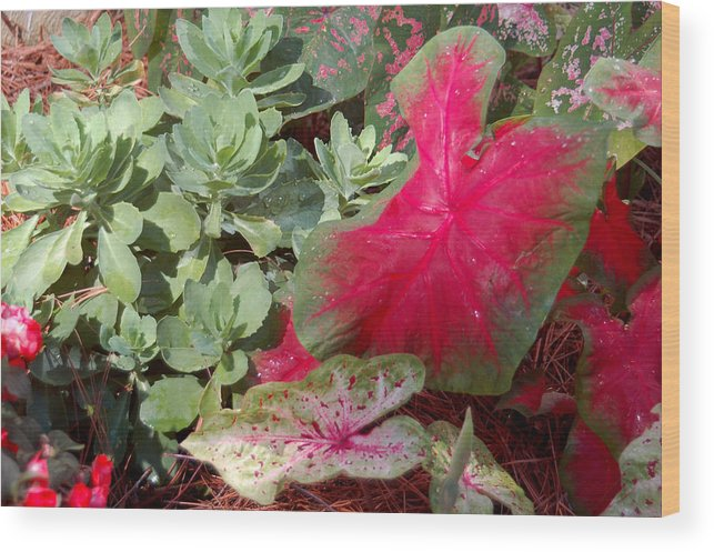 Caladium Wood Print featuring the photograph Morning Rain by Suzanne Gaff