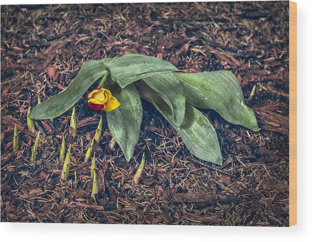 Tulip Wood Print featuring the photograph Mother Nurture by Nancy Strahinic